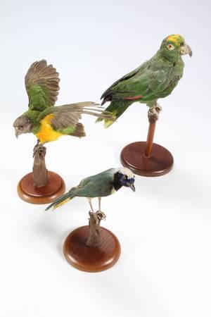 Udstoppet eksotisk fugle.  3