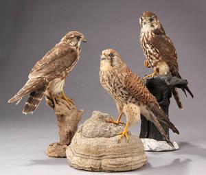 Udstoppet tårnfalk Falco tinnunculus og to udstoppede dværgfalke Falco columbarius. 3